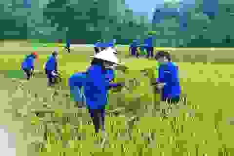 Thanh niên tình nguyện xứ Nghệ đội nắng giúp dân thu hoạch lúa mùa