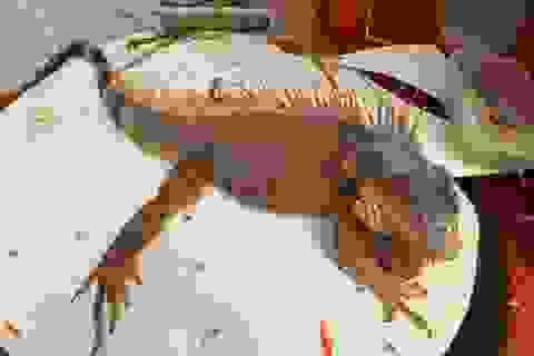 Con vật giống rồng Nam Mỹ hiếm lạ xuất hiện ở Bạc Liêu