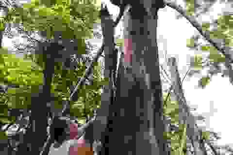 Cảnh chết mòn của hàng cây cổ thụ bị di dời để thi công metro Nhổn - Ga Hà