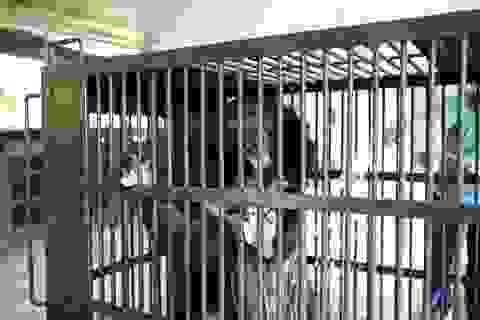 Cứu hộ thành công 2 cá thể gấu ngựa bị nuôi nhốt 20 năm