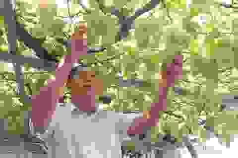 Từ gốc nho bạn tặng, nông dân Sài Gòn thu 500 triệu đồng/năm
