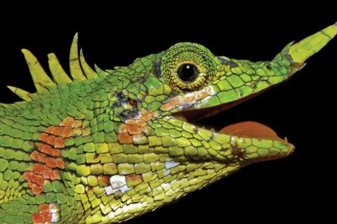 Tìm thấy loài thằn lằn sừng mũi bí ẩn sau hơn 1 thế kỷ biến mất