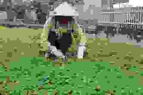 Nghệ An: Trồng rau má thu trăm triệu đồng