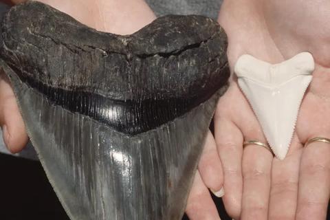Một phụ nữ tìm thấy chiếc răng cá mập cổ đại 5 triệu năm tuổi