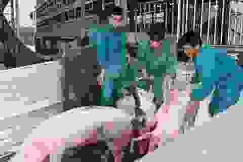 500 con lợn sống Thái Lan đã về cửa khẩu Lao Bảo