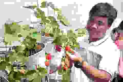 Check-in vườn dâu tây đầu tiên ở Cà Mau