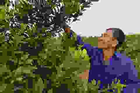 """Nam Định: Trồng loại quất """"ăn sạch, ở sạch"""", lời nửa tỷ đồng mỗi năm"""