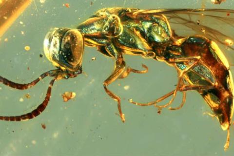 Mẫu hổ phách tiết lộ màu sắc sống động của côn trùng 99 triệu năm tuổi