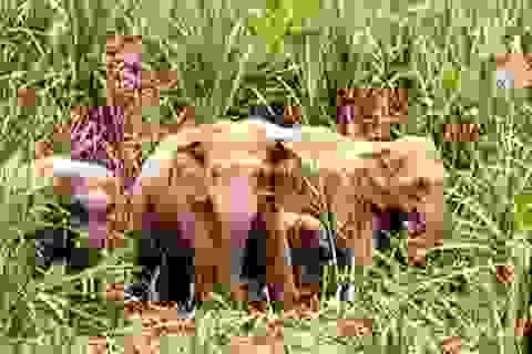 Gần 10 con voi rừng quấy phá khu dân cư ở Đồng Nai