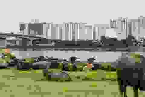 Hà Nội cấm chăn nuôi trang trại ở nội thành và thị trấn ven đô