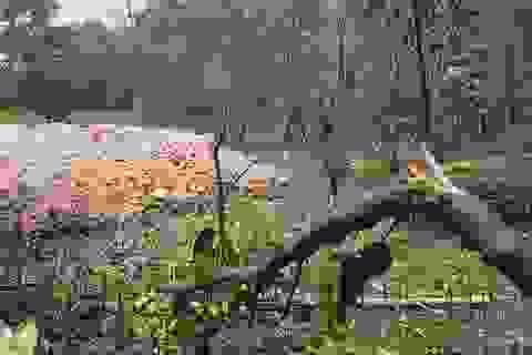 Chặn đứng việc tự ý chặt rừng ngăn mặn để san mặt bằng tại Quảng Trị