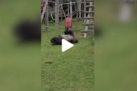 Hành động giống người khó tin của khỉ đột khi thấy khỉ con văng xuống đất