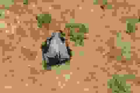 Hơn 350 con voi chết hàng loạt ở Botswana có thể do virus mới, lo ngại lây sang người