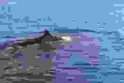 """Cá voi """"khủng"""" xuất hiện ở vùng biển Cù Lao Chàm"""