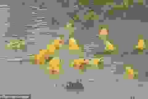 """Kỳ lạ """"đội quân"""" ếch vàng nhảy múa giữa đồng"""