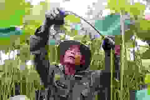Bỏ cấy lúa sang trồng sen, người dân thu lãi cả trăm triệu đồng