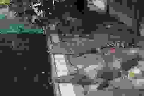 Trại cá sấu lớn nhất miền Bắc lao đao vì Covid-19