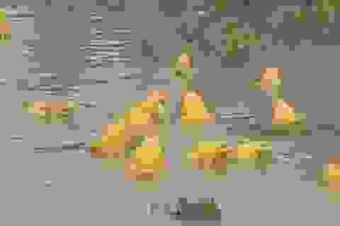 Dân mạng bất ngờ với những con ếch màu vàng ở Ấn Độ