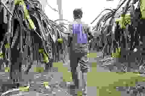 Long An: Thương binh trồng thanh long thu hàng trăm triệu mỗi năm