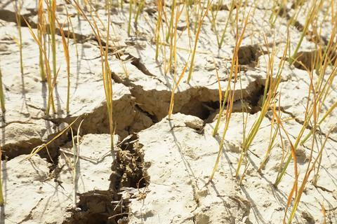 Cận cảnh những cánh đồng lúa cháy khô vì hạn hán
