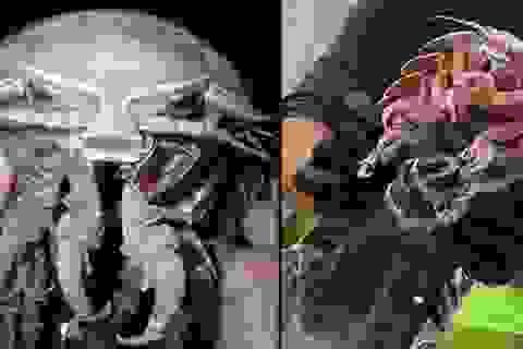 Loài gián biển khổng lồ ở Indonesia