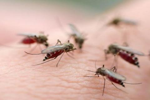 Biến đổi muỗi cái thành... muỗi đực