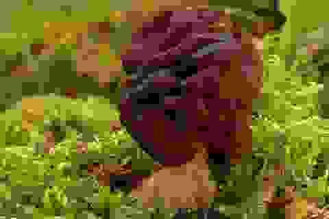 Loại nấm độc được ưa thích vì… rất ngon
