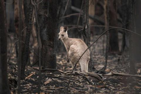 3 tỷ động vật khốn đốn do đại thảm họa cháy rừng ở Úc