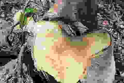 Rừng bị tàn phá nghiêm trọng, địa phương không hay biết?