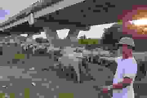 Hà Nội: Lão nông chủ đàn trâu tiền tỉ loay hoay với lệnh cấm chăn nuôi
