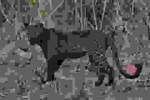 Báo đốm đen cực hiếm tái xuất ở Ấn Độ