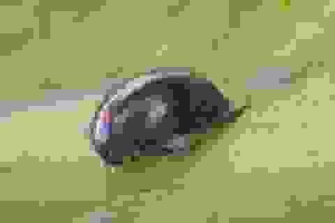 Sự trốn thoát thần kỳ của bọ cánh cứng sau khi bị ếch nuốt sống