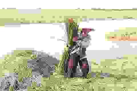"""Về """"ốc đảo"""" Hồng Lam giữa mùa thu hoạch cói"""