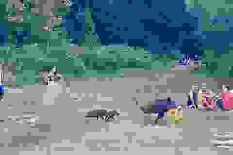Người đàn ông khỏa thân chạy tức tưởi đuổi theo con lợn rừng trộm laptop