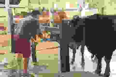 Bắt quả tang lò mổ bơm nước vào bụng bò trước khi giết mổ