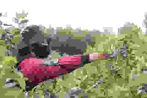Hà Tĩnh: Người dân đổ xô đi hái sim, bỏ túi vài trăm nghìn đồng/ngày