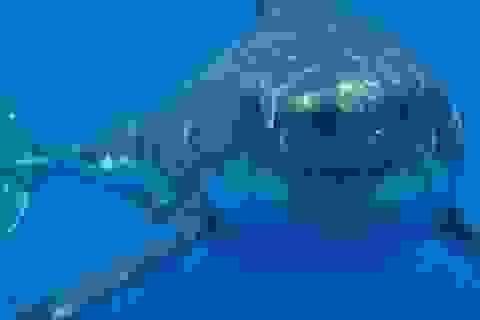 """Bí ẩn cá mập có """"giác quan thứ sáu"""" sống gần núi lửa dưới đại dương"""