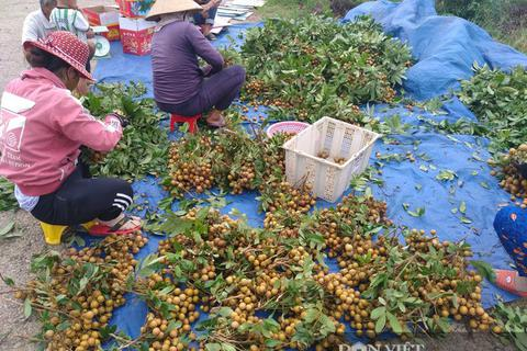 Giá nhãn, giá thanh long chỉ bằng bó rau muống, bán 3 tấn được 10 triệu đồng, nông dân suy sụp