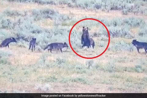 Clip gấu mẹ anh dũng bảo vệ đàn con khỏi đàn sói dữ