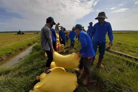 Đoàn viên, thanh niên giúp người dân vùng cách ly thu hoạch lúa