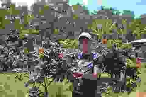 Trà Vinh: Nông dân trồng nhãn tím thu hơn nửa tỷ đồng/năm