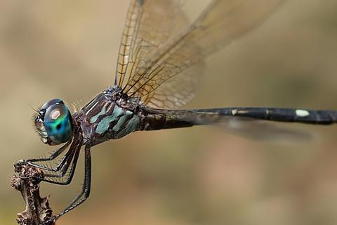 Chuồn chuồn cái giả chết để tránh bị con đực quấy nhiễu đòi giao phối