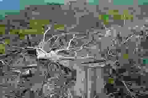 Hàng chục hecta rừng phòng hộ ở Phú Yên bị chặt sạch, phá sạch!