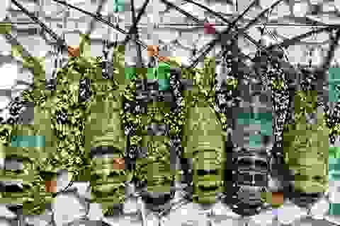 Bình Định: Ngư dân tính bỏ nghề vì giá tôm hùm ...rớt tận đáy