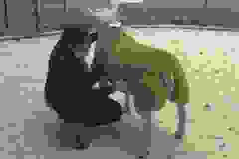 Một con cừu được bán với giá cao kỷ lục: 11 tỷ đồng