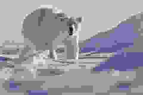 Gấu Bắc cực tấn công làm 1 người chết tại Na Uy