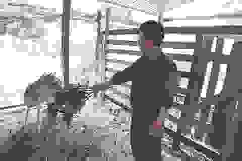 Chàng công nhân nuôi hươu sao, thu nhập hàng trăm triệu đồng