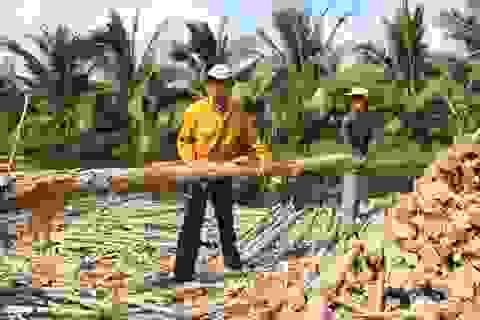 Cà Mau: Nghề vác cừ tràm thuê ở miệt vùng U Minh Hạ