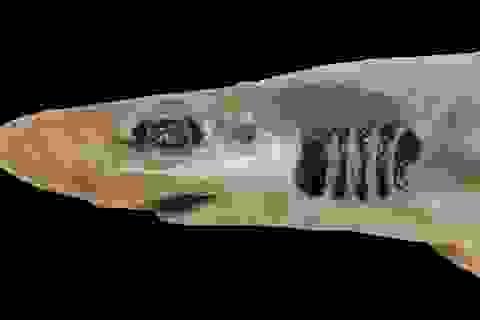 Lần đầu tiên phát hiện cá mập không có da và răng