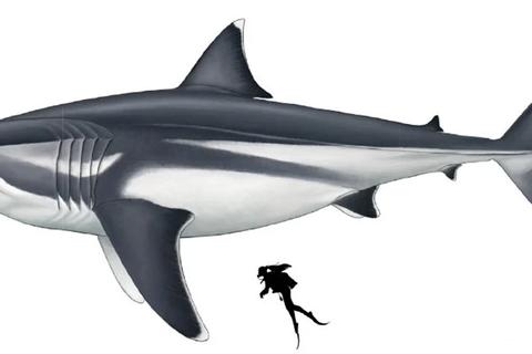 Cá mập sát thủ Megalodon khổng lồ cổ đại thực sự lớn thế nào?